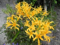 444 2 golden hurricane lily